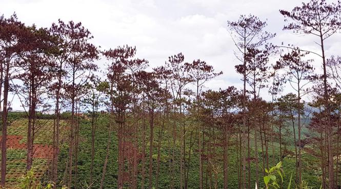 Cán bộ ngân hàng cùng 5 đối tượng bị bắt tạm giam vì hủy hoại rừng thông - ảnh 3