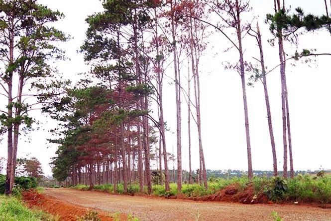 Cán bộ ngân hàng cùng 5 đối tượng bị bắt tạm giam vì hủy hoại rừng thông - ảnh 1