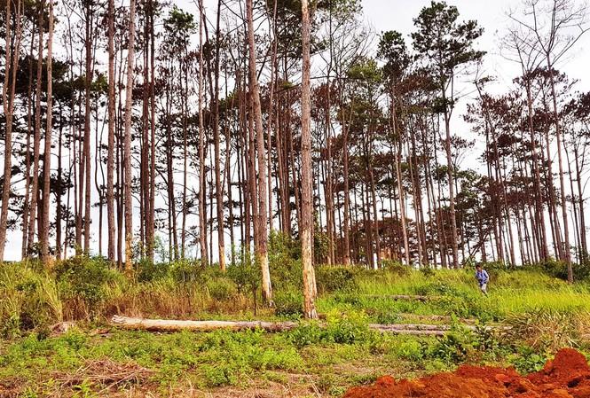 Rừng thông bị đầu độc chết khô